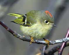 Ruby Crowned Kinglet. I really want to see one of these!