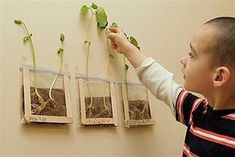 Bean Sprouts - How tall will they get? (Larry is sure they'll touch the ceiling!) Informations About Bean Sprouts - Kid Science, Preschool Science, Science Experiments, Science Daily, Science Biology, Kindergarten Classroom, Science Fiction, Classroom Ideas, Bean Sprouts Growing