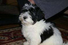 Blue Ridge Bichons and Havanese - About Our Puppies
