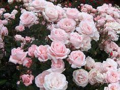 Las rosas se multiplican en casi todos los casos sobre distintos pies llamados porta injertos.