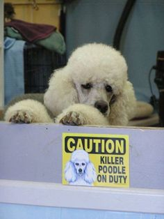Caution - Killer Poodle on Duty are you scared???