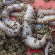 Understanding Earthworms Earthworms, worm casting, and vermicomposting.