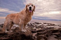 Wonderful Photos of Golden Retriever Champ