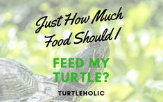 Just How Much Food Should I Feed my Turtle main picture Turtle Care, Pet Turtle, Pets, Food, Essen, Meals, Yemek, Eten, Animals And Pets
