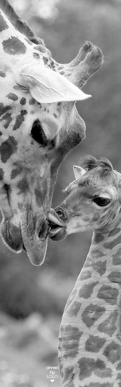 Baby giraffe kisses it's parent baby giraffes, cute giraffe, giraffe . Animals Images, Nature Animals, Animals And Pets, Animal Pictures, Giraffe Images, Wild Animals, Giraffe Pictures, Cute Creatures, Beautiful Creatures