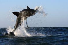 I am the great white shark.  I am hungry.