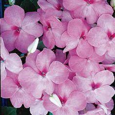 Accent Lavender Blue Hybrid Impatiens Flower Seeds