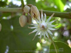 Bokul Flower