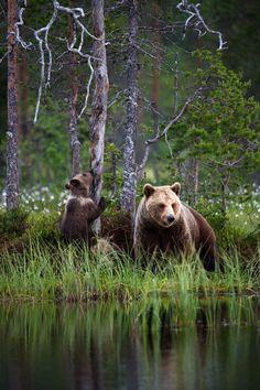 Kajaanilaisen karhuperheen metsäretki on kuin suoraan satukirjasta - katso kuvasarja Victoria Erickson, Brown Bear, Finland, Emo, Scenery, Wildlife, Nature, Posters, Animals