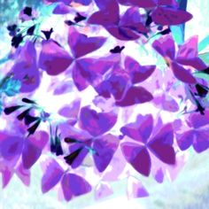 Butterfly plant Purple and Aqua