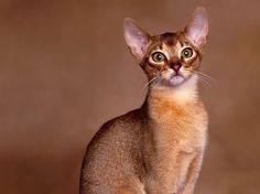 Oriental Shorthair Info, History, Personality, Kittens, Diet, Pictures