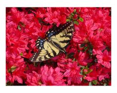 Butterfly on Azaleas