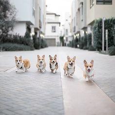The Gang - I want a Corgi Gang!