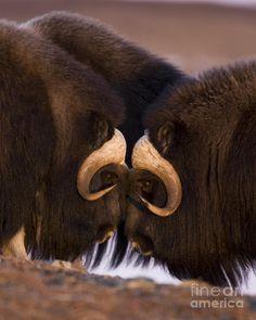 Musk Ox- Eye to Eye; photo by Tim Grams, Alaska