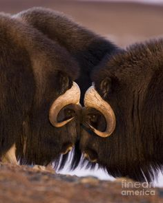 Musk Ox- Eye to Eye; photo by Tim Grams, Alaska