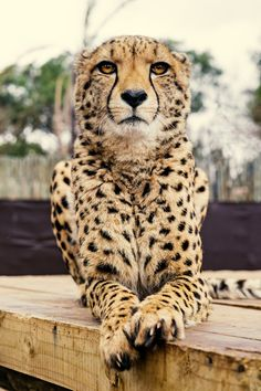 Pictures Of Cats Most Beautiful Animals, Beautiful Cats, Cute Funny Animals, Cute Cats, Big Cats, Cats And Kittens, Cheetah Pictures, Lion Tigre, Big Cat Tattoo