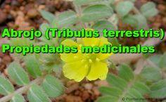 Propiedades-medicinales-del-Abrojo -Tribulus terrestris beneficios para la salud
