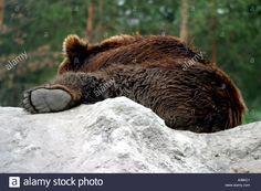 Image result for resting bear