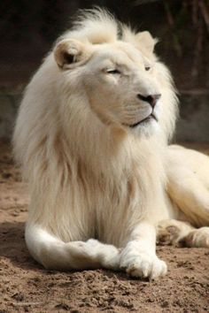 To see a white lion in your dream highlights your majestic power. It may also indicate sudden awareness of the power you hold.