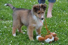 Shetland Sheepdog Puppies NY   Sheltie Puppies for Sale NY