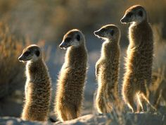 Meerkat - Scouting the desert, always on guard against foes and in search of prey. Zoo Animals, Animals And Pets, Cute Animals, Animal Habitats, San Diego Zoo, Animal Kingdom, Mammals, Animal Pictures, Pup