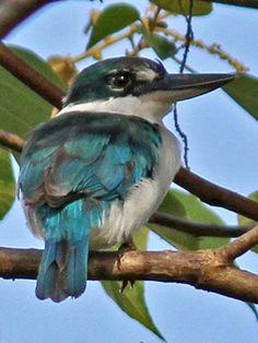 Talaud Kingfisher (Todiramphus enigma) Talaud Islands, N of Sulawesi