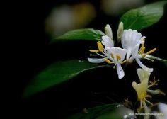 Oklahoma Flower