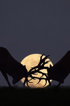 Superb Nature - Moonlight rut by Steve Adams Moon Photos, Moon Pictures, Animal Pictures, Moon Pics, Image Nature, Shoot The Moon, Moon Shadow, Good Night Moon, Beautiful Moon