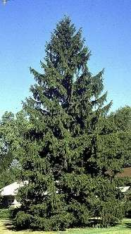 Mature Norway Spruce