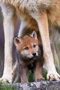Wolf Pup Between Mamas Legs.