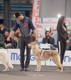 Mirra Bruna di Fossombrone - proprietà: Alex Solbiati 🐺🏆#saarloos #difossombrone #aTuttaMirra Saarloos, Dog Show, Dogs, Animals, Animales, Animaux, Doggies, Animais, Dog