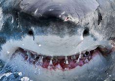 """Un gran tiburón blanco en la costa de Gansbaai, Sudáfrica, fue fotografiado como el """"Tiburón Bruce"""" de la Película """"Buscando a Nemo""""."""