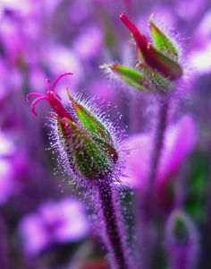 Purple - (CC)Darwin Bell - www.flickr.com/photos/darwinbell/3427797607/in/set-72157594312056573#