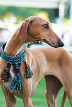 Azawakh (Sahel greyhound) - African Sighthound - I love this dog but they are so skinny I'd be afraid everyone would think I was starving him.