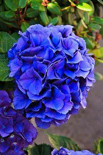 Beautiful Blue Hydrangea | by http://fineartamerica.com/profiles/robert-bales.ht