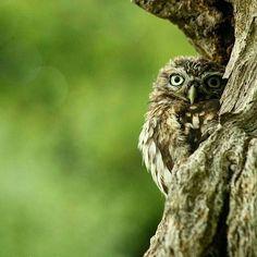 "Beautiful great photo    @westmidlandswildlife -  Fabulous image captured by @jaylan_photography.  ""I spy with my little eye  . #owl #owls #owllove"