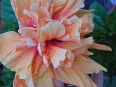 double bloom hibiscus