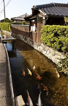 Koi (coloured carp), Aiba River, Hagi, Yamaguchi, Japan