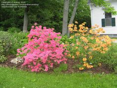Northern light azaleas Home Garden Plants, Home And Garden, Shade Shrubs, Northern Lights, Shades, Flowers, Shrubs, Shutters, Aurora