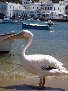 Petros the pelican - Mykonos, Greece