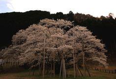 306:「日本三大桜の岐阜県根尾谷の薄墨桜 圧倒的な存在感があります」@根尾谷薄墨公園