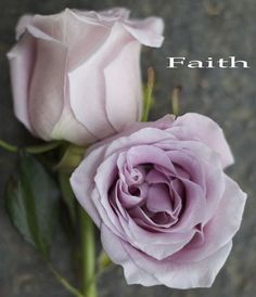 Faith, a blush lavender rose by http://www.harvestwholesale.com