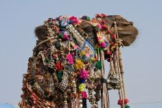 Camel At The Pushkar Fair ( Pushkar Camel Mela ) Rajasthan, India Royalty Free Stock Photo, Pictures, Images And Stock Photography. Image 16741712.
