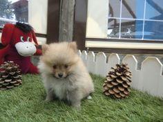 Precioso cachorro pomerania de Criadero Cantillana. Visita nuestra web www.criaderocantillana.com buscanos en Facebook