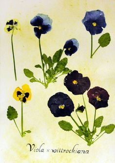 Pressed Pansy (Viola x wittrockiana). From Ecobata on Etsy.