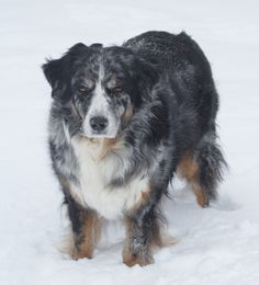 All About The Australian Shepherd Puppy Temperament American Shepherd, Aussie Shepherd, Australian Shepherd Dogs, Blue Merle, Aussie Puppies, Herding Dogs, Dog Activities, Dog Barking, Border Collie