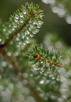 water droplets on pine tree branch