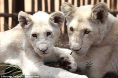 Fighting extinction: Three-month-old Bianca (left) and five-month-old Michelle (right), at the Ukutula Lion Park & Lodge