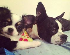 Boston Terriers, Chihuahua Love, Chihuahuas, Pet Birds, Doggies, Fur Babies, Puppies, Pictures, Animals