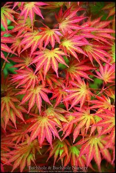 Kigi Nursery - Acer shirasawanum ' Sensu ' Moving Fan Shirasawa's Maple, $20.00 (http://www.kiginursery.com/maples/acer-shirasawanum-sensu-moving-fan-shirasawas-maple/)